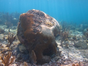 Volunteers righted and cemented one of the large brain corals that was knocked over back to the reef. Bleached (white) tissue is visible where the brain coral sat upside down.