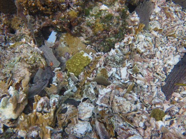 A close up of the rubble and coral fragments the volunteers searched through to rescue corals.