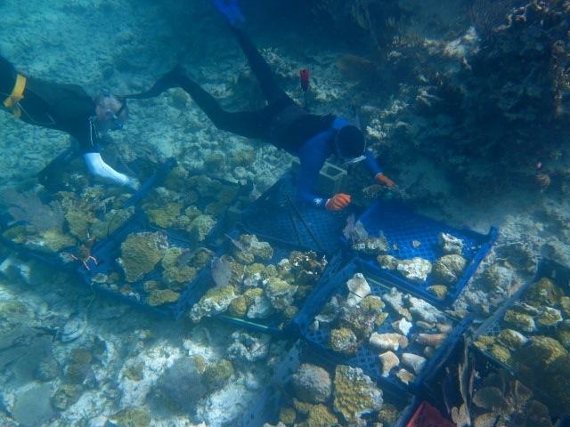 "Doug Daggett (s/v Viento) and Jack Hayden (s/v Taiga) put corals into ""hospital beds""."