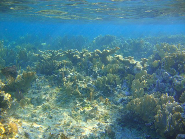 Elkhorn coral growing on one of the most beautiful, healthy reefs in Elizabeth Harbour.