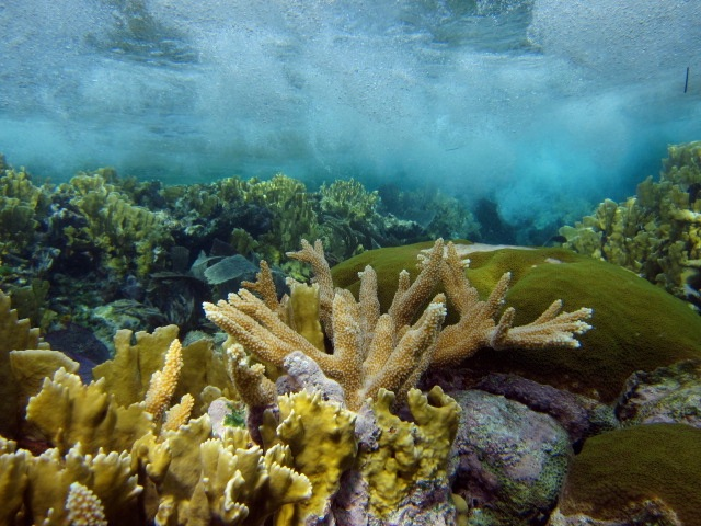 A glimpse of the healthy coral life on the reef crest.
