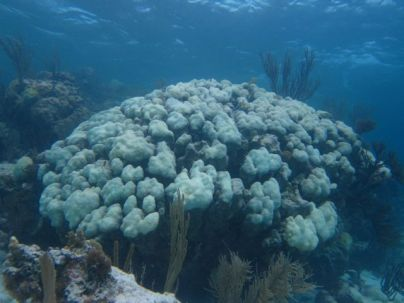 A massive mountain star coral (Orbicella annular is) bleached white in November.